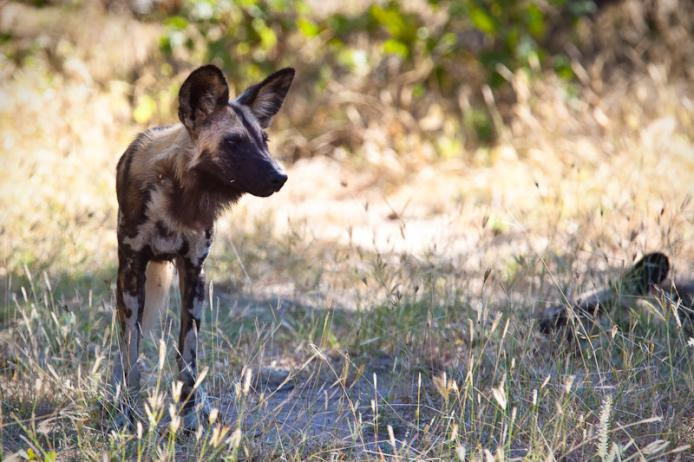 Licaone wild dog, South Luangwa national park, Zambia safari africa turismo viaggiare