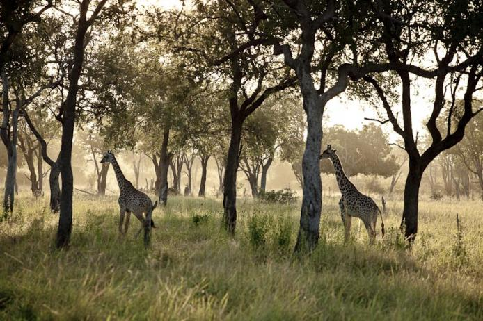 Giraffe South Luangwa national park. Zambia. safari, africa, turismo, viaggiare