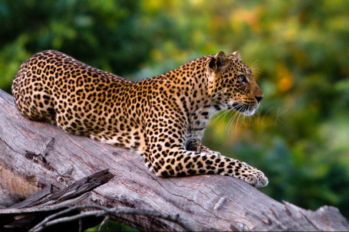 Leopardo, South Luangwa national park, stagione verde, zambia, safari africa felini game drive africa wild truck wildlife