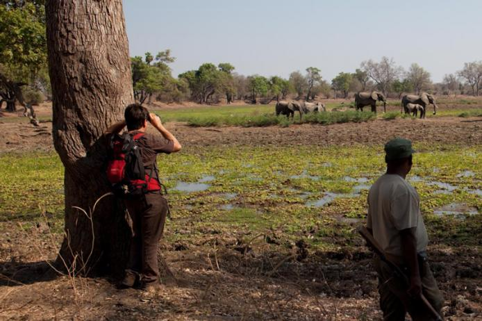 Walking Safari. South Luangwa National Park. Zambia. Un avvistamento importante. Gli elefanti.