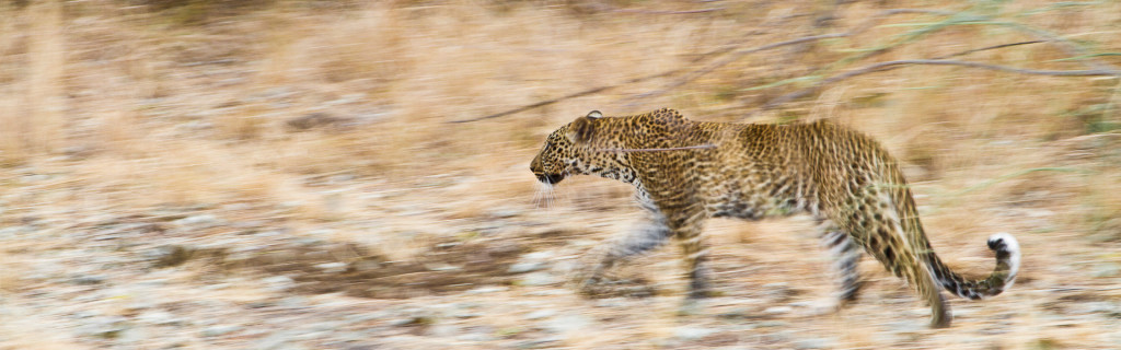 Zambia, the real africa, leopard, Luangwa