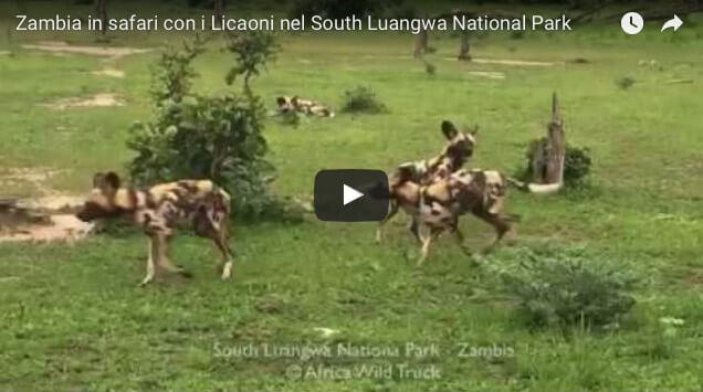 Zambia in safari con i Licaoni nel South Luangwa National Park viaggi turismoresponsabile