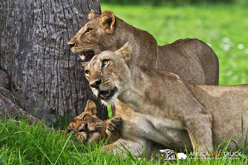 safari-nel-south-luangwa-national-park-in-zambia-Africa-Tour-Operator-leoni