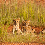 Zambia safari in the real Africa leoni kafue wildlife viaggio turismo